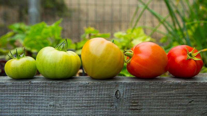 Green Tomatoes Or Bust How To Ripen When To Eat Pass The Pistil