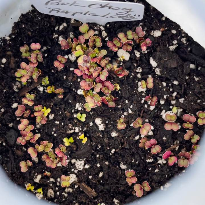 winter sowing sprouts purple lady bok choy