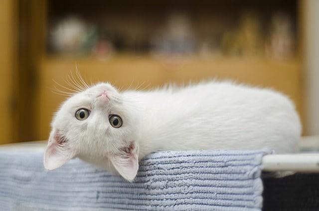 Bienfaits thérapeutiques d un chat de compagnie