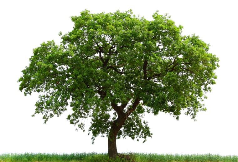 loan-oak-tree