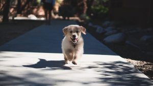 Short fuzzy dog running at the camera on a sunny sidewalk.