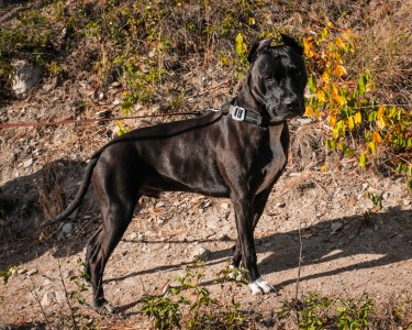 Diesel the Mountain Dog Black Pitbull
