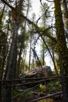 Dense lodge pole pines while hiking Camas Creek Trail to Camas Lake Montana