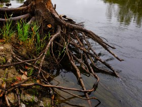 a tree whose soil has been washed out by high water