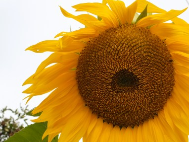 The textures on this enormous sunflower are absolutely gorgeous
