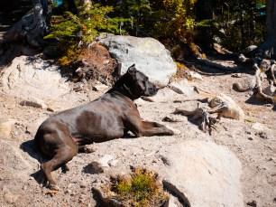 Diesel the Mountain Dog, enjoying the beach at Camas Lake