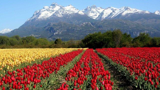Campo de Tulipanes en Trevelin