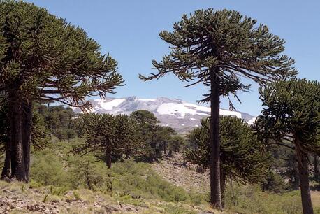 Bosque de araucarias con la montaña nevada de fondo.