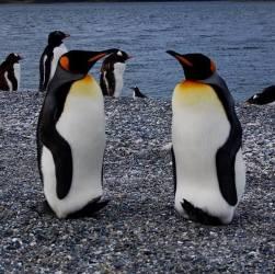 Dos pinguinos emperador mirándose en la Isla Martillo