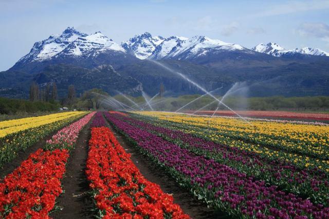 Hileras de tulipanes de colores siendo regados por aspersores con las montañas con picos nevados de fondo.