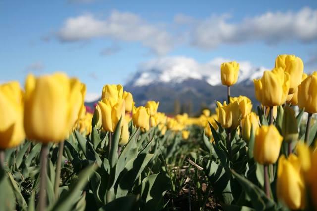 Tulipanes amarillos fuera de foco con las montañas nevadas de fondo.