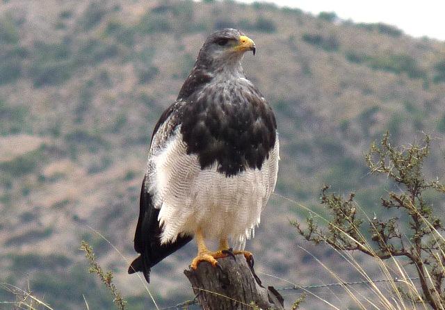 Águila mora, en Piedra Parada