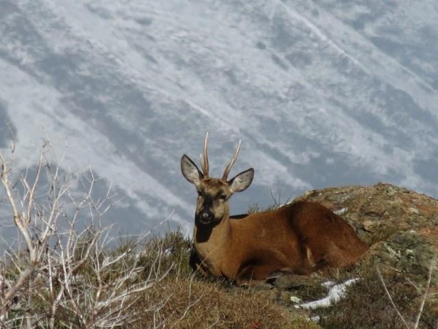 Huemul descansando en la montaña. Un hallazgo Parque Nacional Los Alerces.