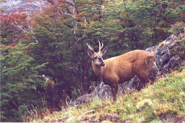 Huemul en la montaña. Un hallazgo en el Parque Nacional Los Alerces.