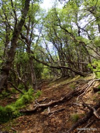 Nothofagus antarctica forest, in the sunny and dryest areas