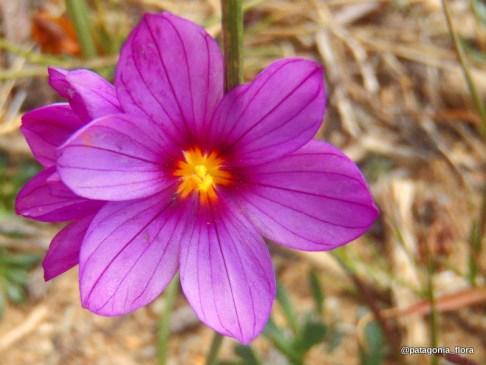 Olsynium-junceum-patagonia-wildflowers