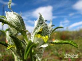 Chloraea-maguellanica