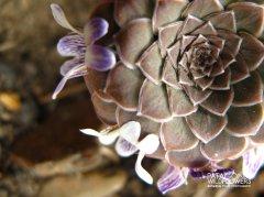 viola-columnaris