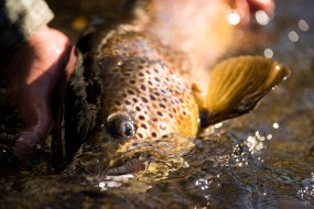 Brown Trout - Patagonia Fly Fisherman