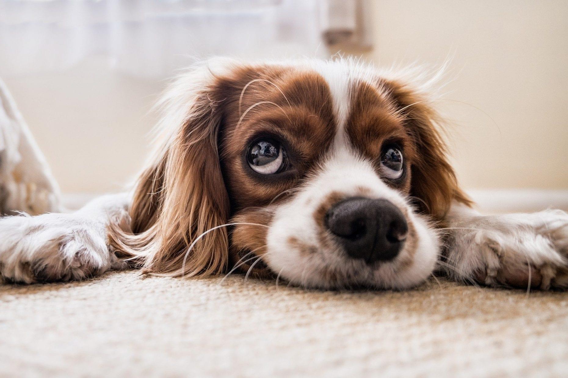 cachorros e gatos não transmitem coronavirus