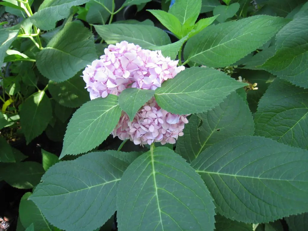 Heavenly Hydrangeas Town And Country Mo Patch