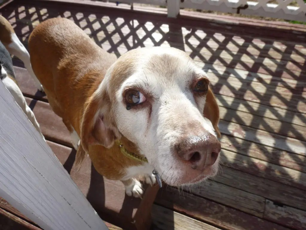 Brookline Beagle Rescue Helps Dogs In Need