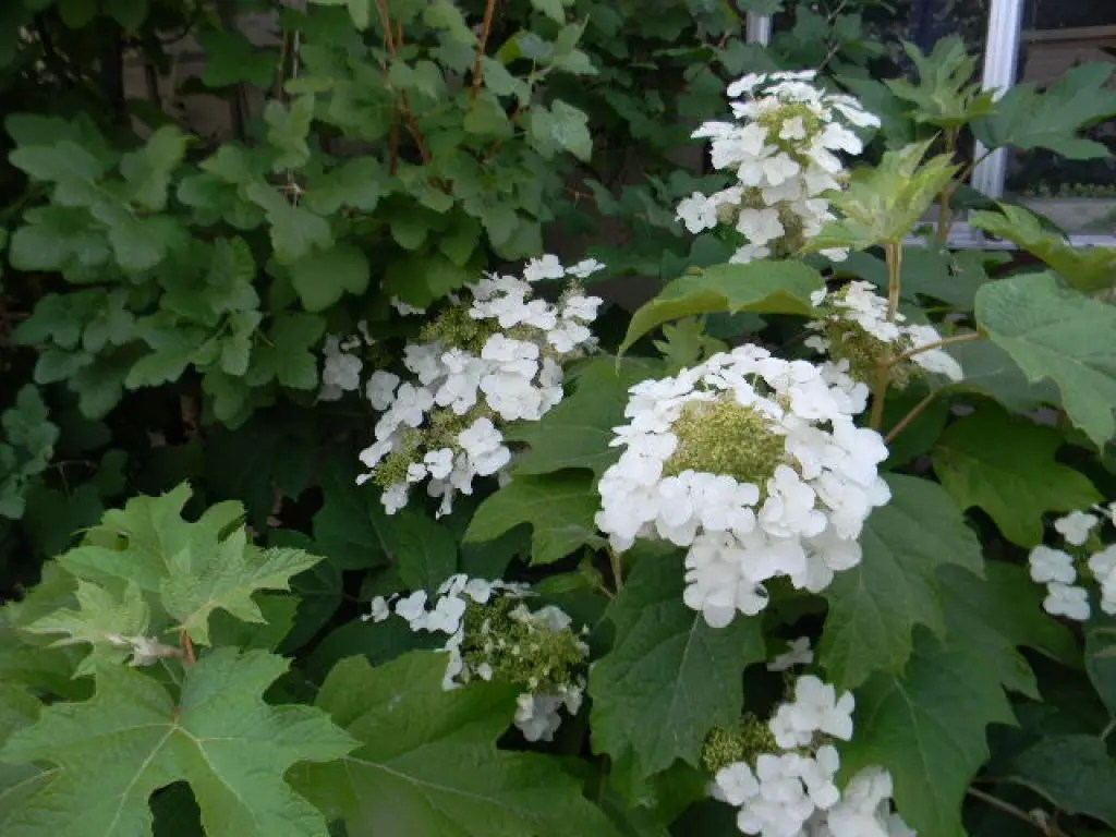 Plant Spotlight Oak Leaf Hydrangea San Leandro Ca Patch