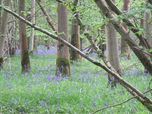 Worting Bluebell Woods by Allison Reid