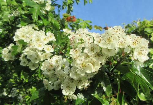 Hawthorn flowers by Allison Reid