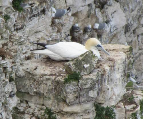 Bempton Cliffs Gannet on nest by Allison Reid