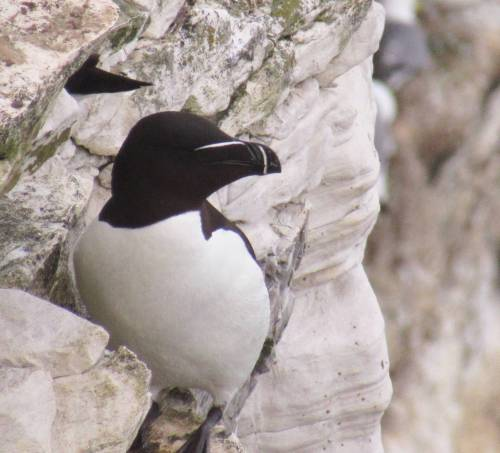 Bempton Cliffs Razor Bill by Duncan Reid