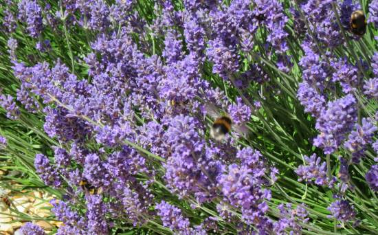 Lavender Hidcote with bees by Allison Reid