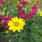 Crysanthimums and nicotiana by Allison Reid