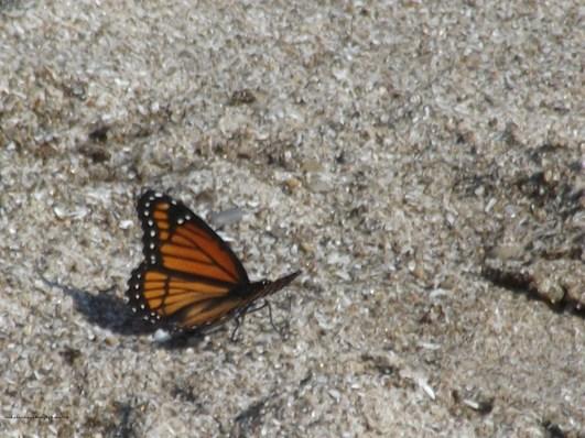 Monarch on Rock Point Prov Park beach
