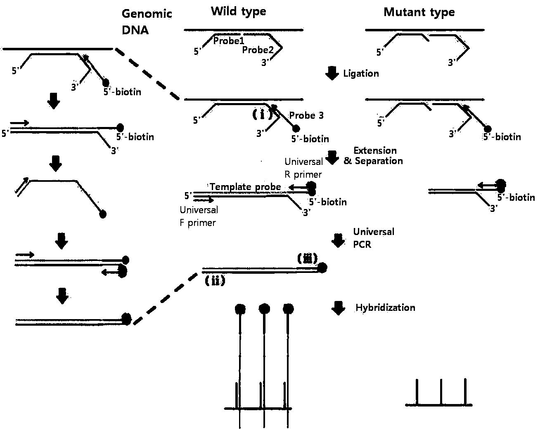 Diagram Of Step Of Pcr