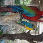 Macaws @ Ocean World (for a 'tipo' you can get your pictures with them on your head)