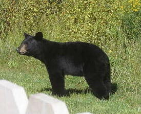 Bear in our Tannersville, NY backyard