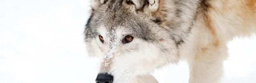 loup totem