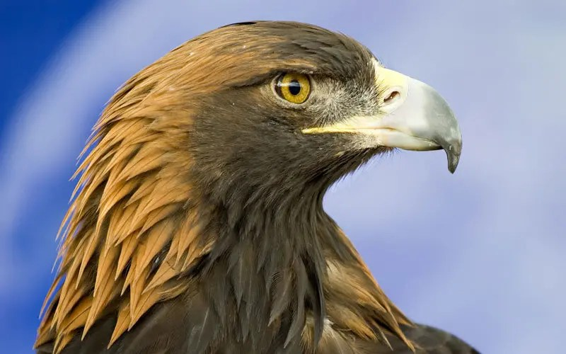 Animal Totem L'Aigle : symbolisme