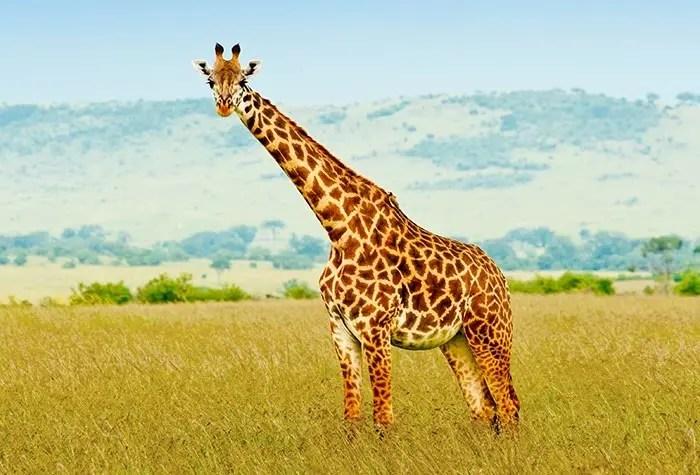 Animal Totem la girafe : symbolisme