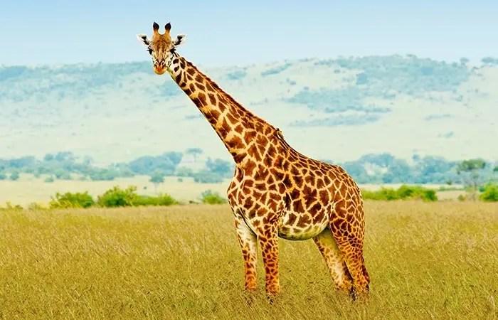 totem girafe