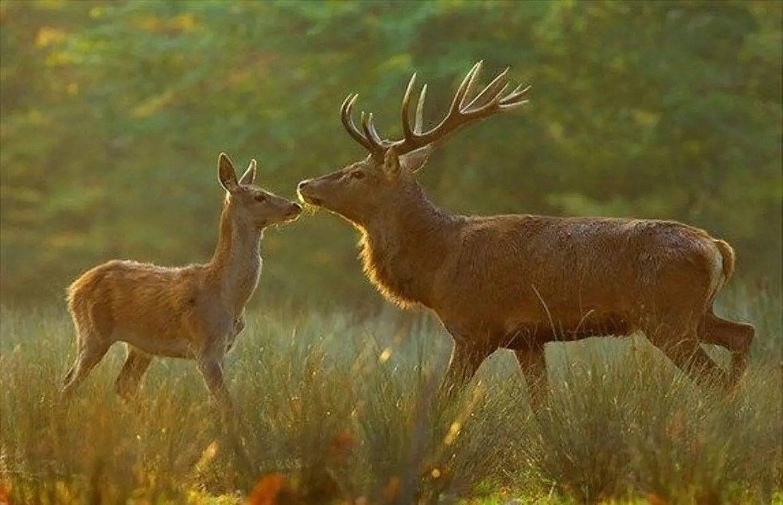 Animal totem du Cerf ou de la Biche : Symbolisme