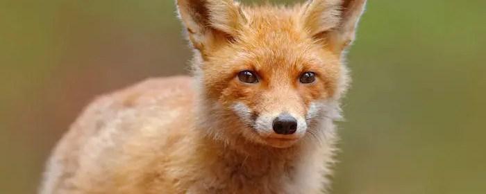 renard malin animal totem