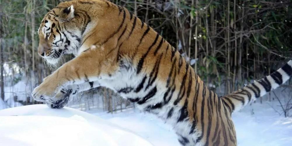 Animal Totem Le Tigre : Symbolisme
