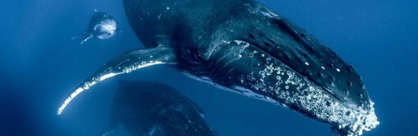 animal totem baleine