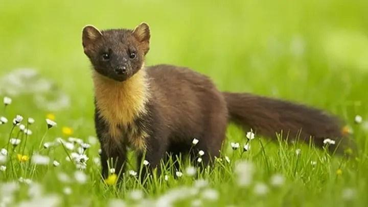 Animal totem la belette : Symbolisme
