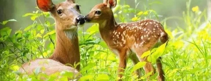 animal totem la biche