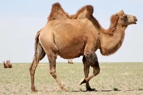 Animal totem le chameau : Symbolisme