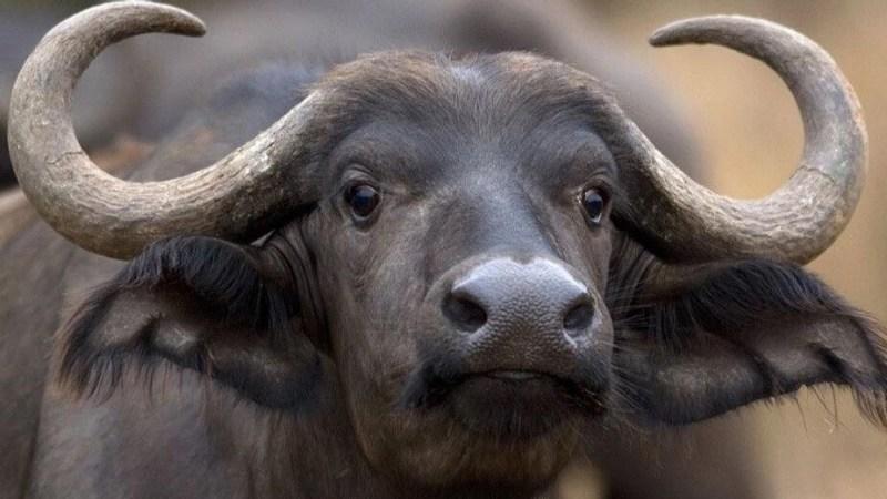 buffle bison