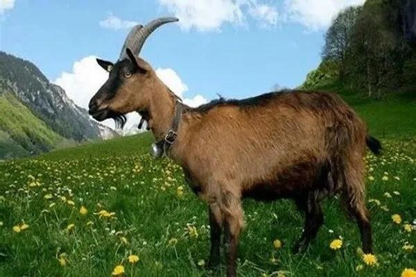 Animal totem la chèvre : Symbolisme